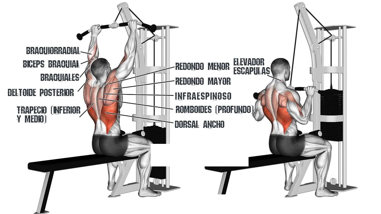Jalón o Polea al pecho - Músculos involucrados