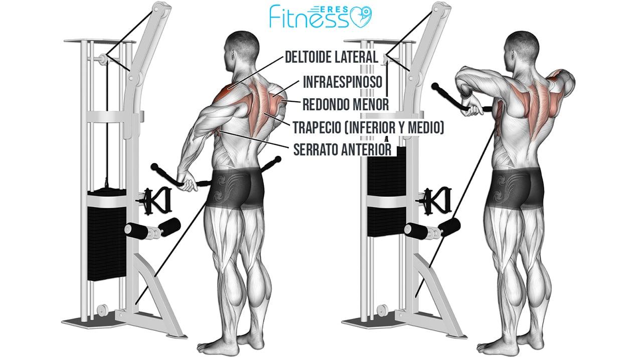 Remo al cuello con polea baja - Músculos involucrados