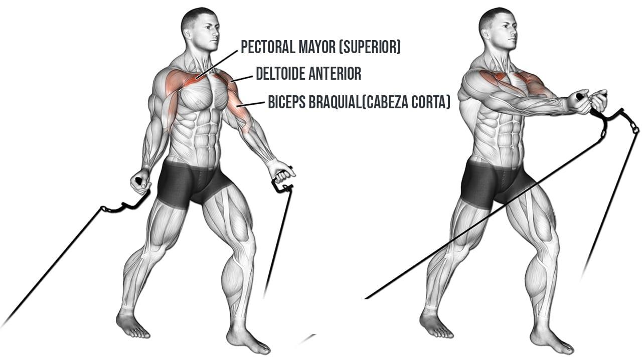 Cruces en polea baja o crossover cable abajo - músculos involucrados