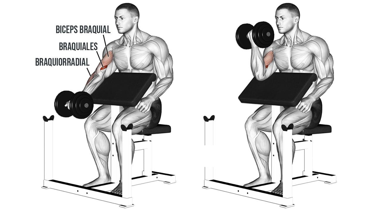 Curl de biceps banco scott o predicador - MUSCULOS INVOLUCRADOS