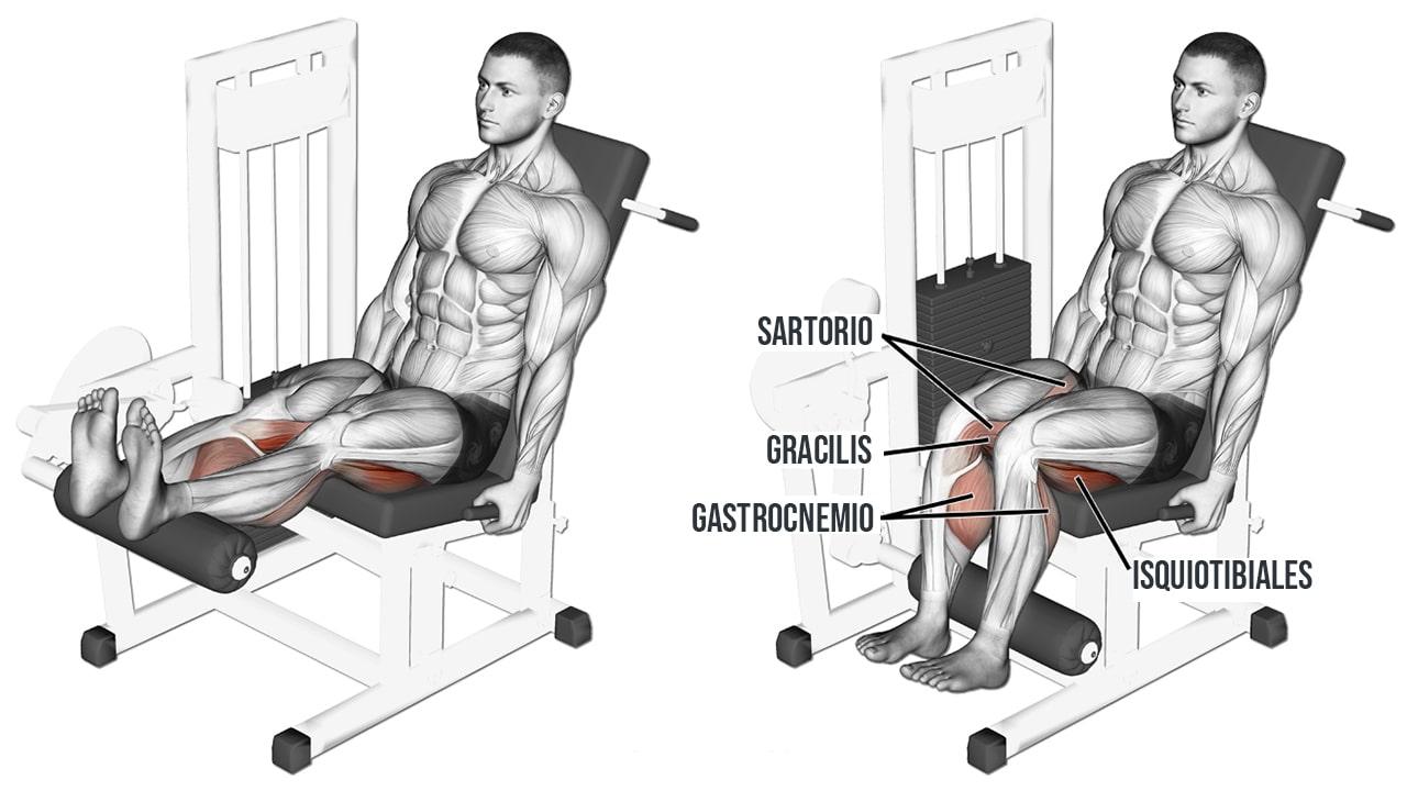 Curl de piernas sentado en máquina - MUSCULOS INVOLUCRADOS