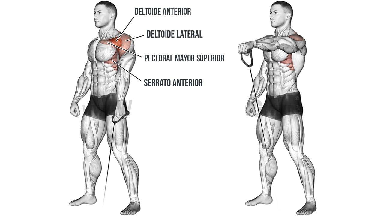 Elevaciones frontales con polea baja alternadas - Músculos trabajados