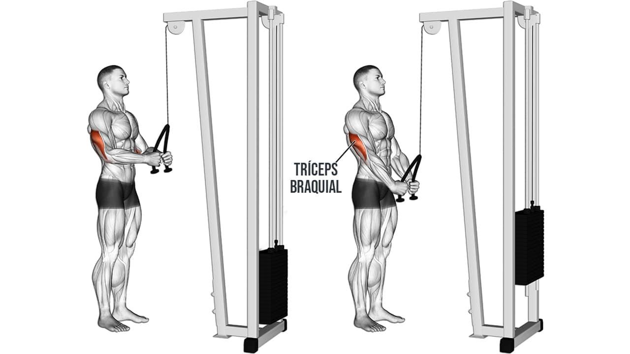 Extensión de tríceps en polea alta - MUSCULOS INVOLUCRADOS