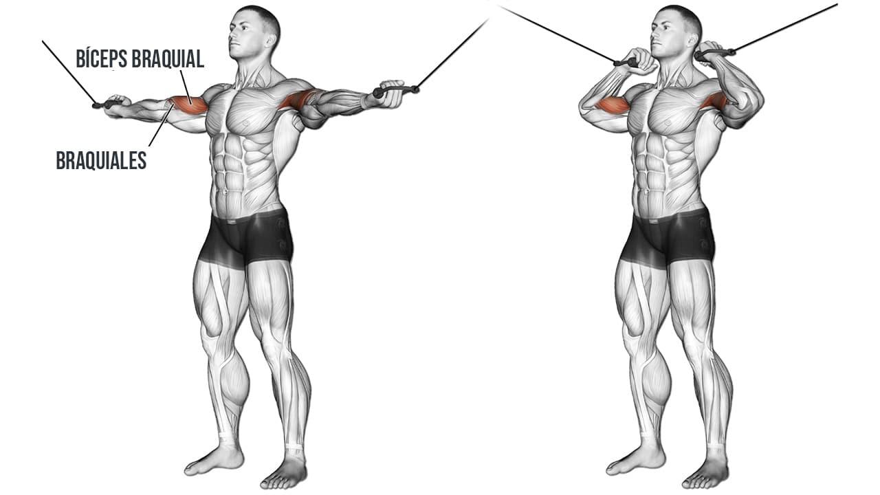 brazos en cruz en polea alta Curl Bíceps- MUSCULOS INVOLUCRADOS