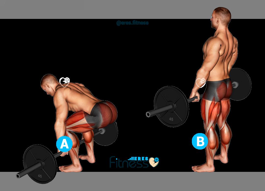 Peso muerto con barra: Técnica, Beneficios y Músculos involucrados