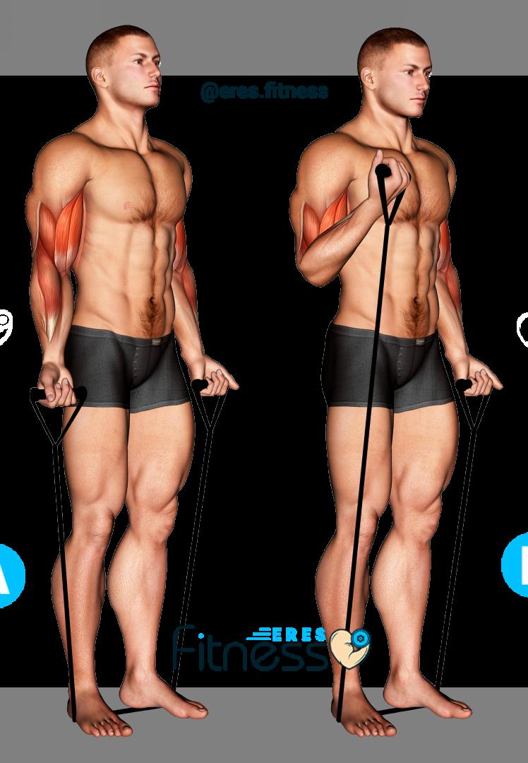Curl de bíceps alternado con banda elástica ¿Cómo hacerlo correctamente?